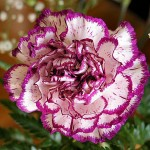 Bi-Color Carnation