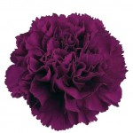 purple-carnation