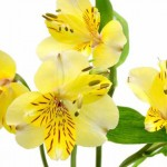 yellow-alstroemeria